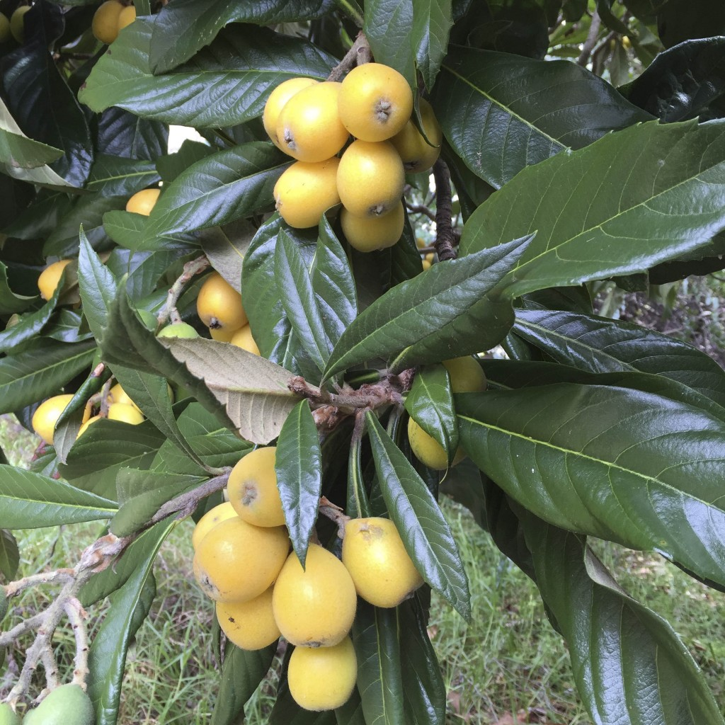 loquats almost ready