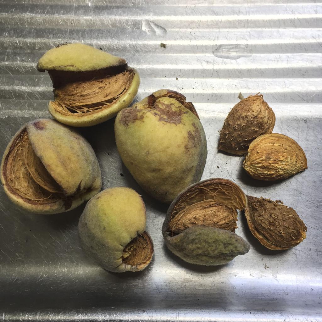first almond crop