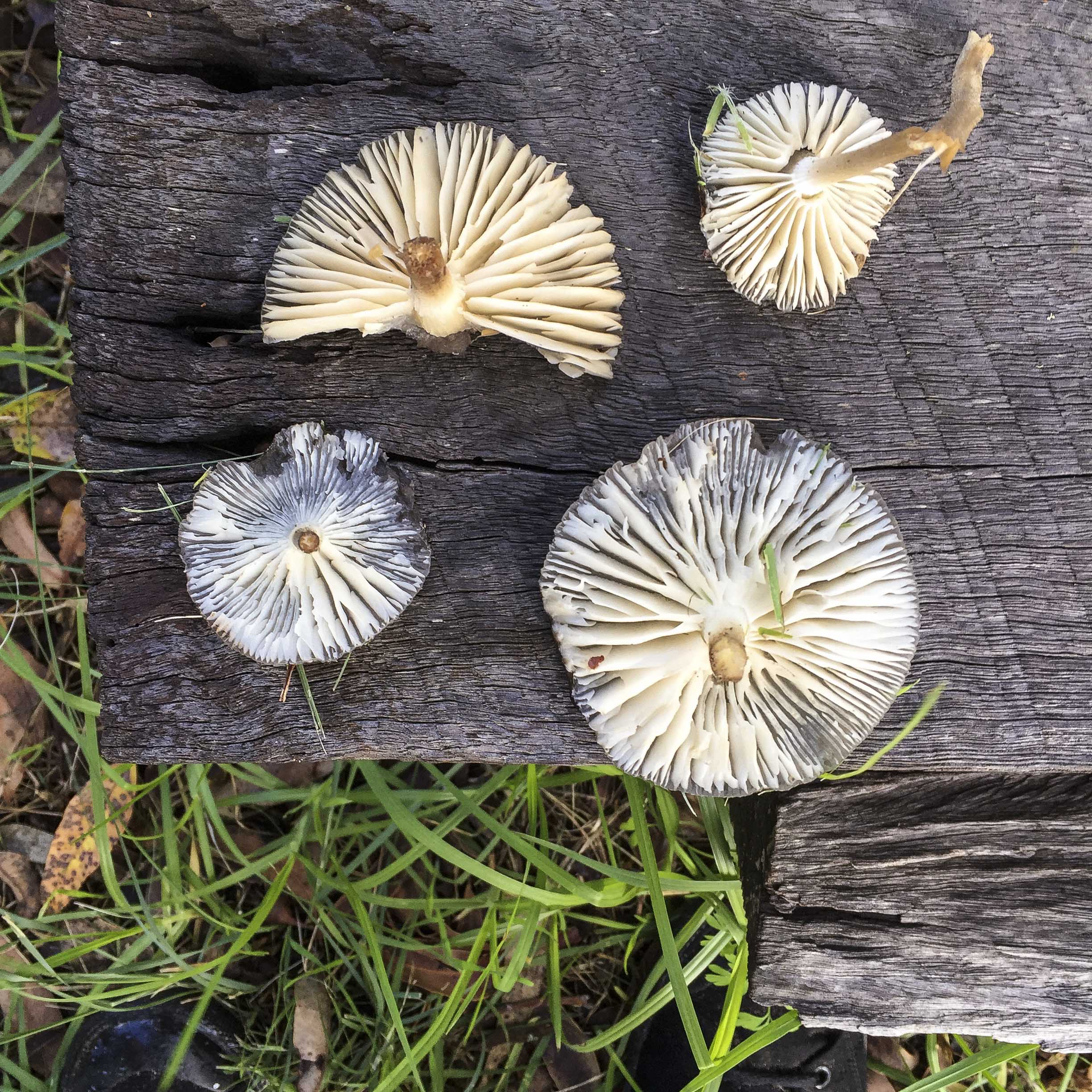 our backyard forest fungi