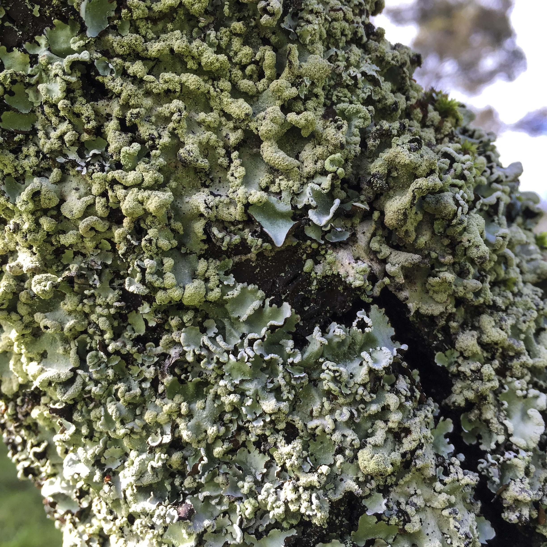 liking lichen